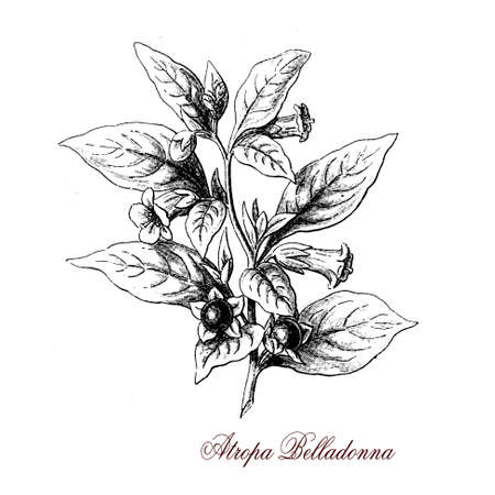 belladonna: Belladonna or deadly nightshade is a herbaceous plant widely distributed. Leaves and berries are extremely toxic. in the past it was used as medicine, cosmetic and poison.