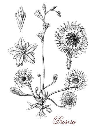 herbal medicine: Droasera or sundew is a carnivorous plant which capture and digest insects using mucilaginous glands covering the leaf surface.The glistening tentacles resemble drops of morning dew.The plant is used as ornamental and in herbal medicine as cough remedy