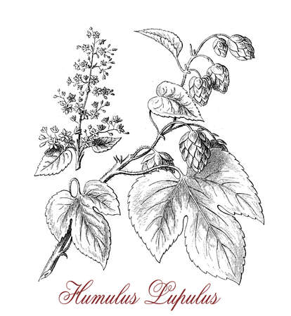 cultivated: Vintage engraving describing Hop (humulus lupulus) botanical morphology:flowering perennial plant with flower cones widely cultivated for use by the brewing industry