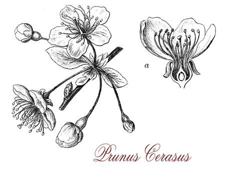 sour: Vintage print describing the beautiful flowers of sour cherry tree Sour cherries known to the Greeks in 300 BC, were cultivated and also extremely popular with Persians and the Romans who introduced them into Britain.