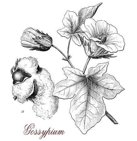 Vintage print describing cotton plant (gossypium) botanical morphology: leaves,flowers and seeds in a capsule surrounded by staples used for weaving. Stock Photo