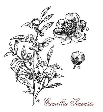 subtropical plants: Camellia sinensis or Camellia is a  flowering plant, the leaves are used to produce tea. The plant originates from Asia and is cultivated in tropical and subtropical areas.Flowers are yellow-white with 7-8 petals, seeds are pressed for tea oil for cooking