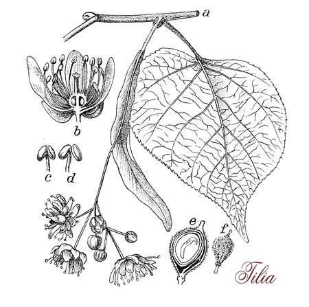 tilia: Tilia or Lime tree is a large, deciduous tree, hermaphroditic with male and female flowers and dense heart shaped foliage. Cultivated as ornamental, for wood  (guitar,carved figurine) and herbal medicine