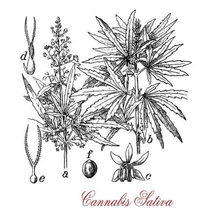 Vintage print of Cannabis sativa herbaceous plant botanical morphology: each part of the plant is harvested differently, the seeds for hempseed oil or bird feed, flowers for cannabinoids consumed for recreational and medicinal purpose