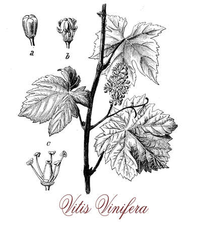 vitis: Vitis vinifera or common grape vine is native of Mediterranean region, the leaves are alternate and palmated. The berry is known as grape, can be green or purple, it is eaten fresh or processed to make wine or dried to produce raisins. The plant is known
