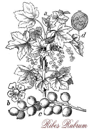 Ribes rubrum or red currant is a shrub with pendulous small yellow green flowers maturing in red bright edible berries with tart flavor, cultivated for jams, jelly, refreshing drink and cooked preparations, but also to be consumed raw.The fruits are a gre Stock Photo