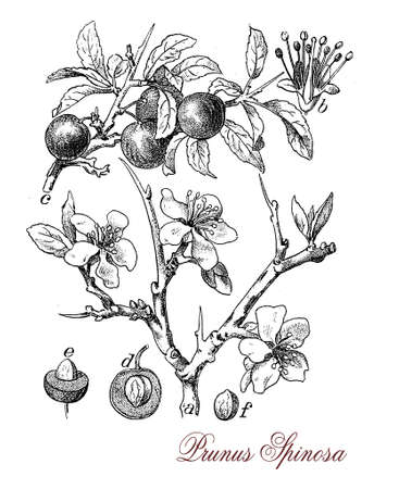 liqueur: Blackthorn or sloe is a shrub with thornlike spiny branches and dark bark.The purple- blue fruit is commonly known as sloe similar of a small plum with tart flavor used to produce a liqueur (sloe gin).