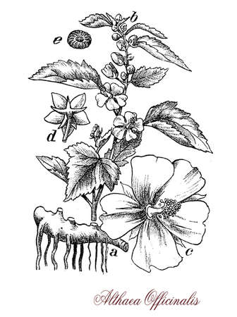 pale colors: Althaea officinalis or common marshmallow is a medicinal and ornamental plant.The leaves are soft and velvety and used in traditional herbal medicine, the flowers are of pale colors, the roots fibrous and tough, the plant is edible. Stock Photo