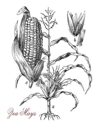 animal feed: Corn or maize is a large grain plant native of Mexico, the fruits are kernels. The sweet corn variety is used as vegetable, starch and corn oil, the field corn is used for animal feed