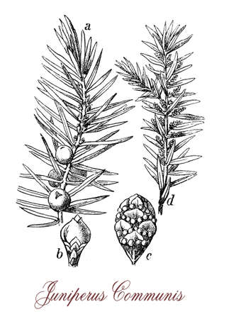 Common juniper is a coniferous evergreen ornamental tree with needle-like leaves, the fruits are berry like cones purple-black with bitter and strong flavor, used in the kitchen to enhances meats and to flavor beers and gin. Used in old traditional medici Stock Photo