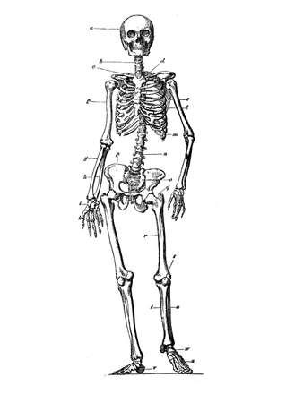 Human skeleton standing anatomy, engraving XIX century