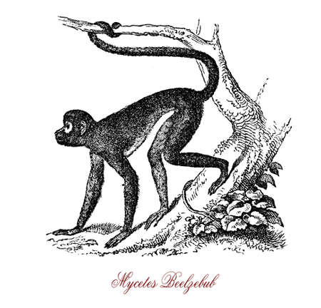 predicador: Preacher monkey or Mycetes Beelzebub is native of Africa, chats and howls in imitation of pulpits with a voice resounding like a drum Foto de archivo