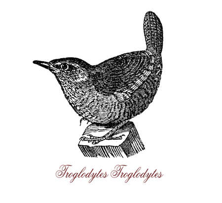 Eurasian wren is a very small songbird, he makes short flights and with tiny round wings whirring and eats insects and spiders Stock Photo