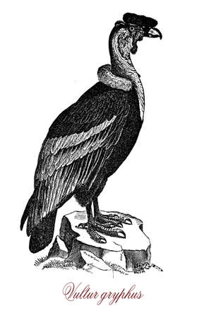 Andean condor is a South American bird of the vulture family, he is the largest flying bird in the world with white ruff feathers at the base of the neck, a wattle and ared comb on the head.