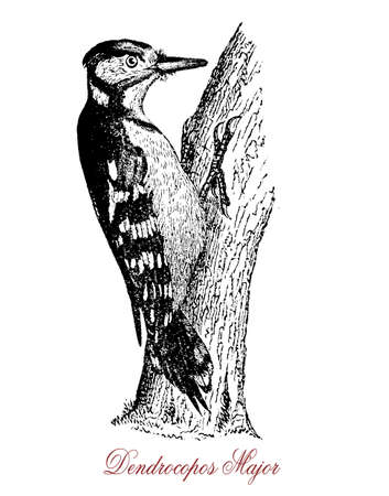 Great spotted woodpecker has red, white and black plumage and blows rapidly with his strong bill upon trunks or branches, resembling a sort of mechanical drumming.