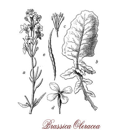 greens: Brassica oleracea is a species of common food as cabbage, broccoli, cauliflower, kale, Brussels sprouts, collard greens, savoy, kohlrabi and kai-lan rich in vitamin C. Stock Photo