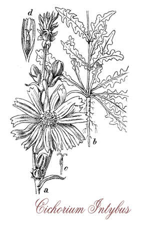 cultivated: Chicory is a bright blue flowering plant cultivated for salad leaves and forage crop; its roots are used as coffee substitute Stock Photo
