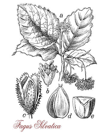 alternate: common beech or beech  botanical morphology: deciduous large tree  grows up to 50 m (160 ft). in height and 3 m (9.8 ft) , its lifespan is normally 150–200 years.Leaves are alternate, the female flowers produce beechnuts.