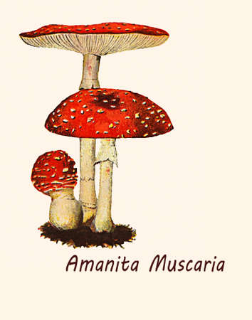 Vintage illustration of Amanita muscaria, toxic mushroom with narcotic and hallucinogenic property, well recognizable from the beautiful red cap with white spots. Stock Photo