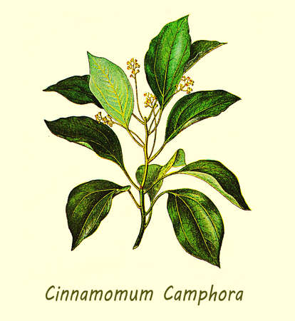 cinnamomum: XIX century illustration of Cinnamomum camphora or camphor tree, large evergreen tree with glossy leaves, small flowers and camphor smell