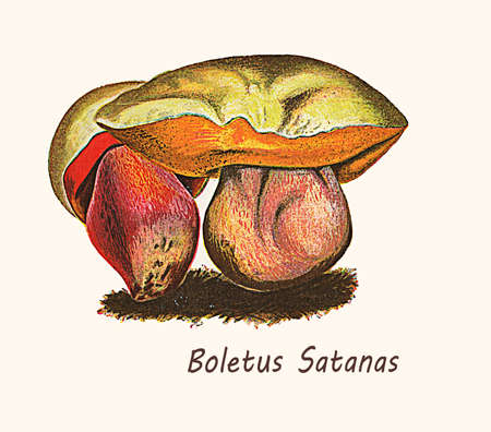 Satans bolete is a poisonous mushroom with putrid smell, 19th century vintage illustration Stock Photo