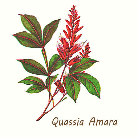 shrub: Vintage illustration of quassia amara, shrub with bright red flowers used as insecticide, in traditional medicine and as additive in the food industry for its bitter taste. Stock Photo