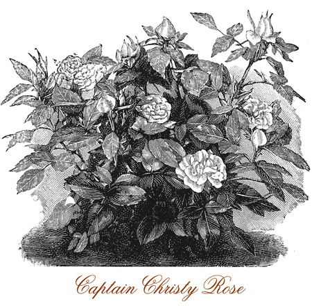 Vintage engraving of a beautiful Captain Christy rosebush with blossoms, cultivated for beauty and fragrance