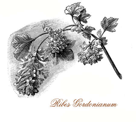 Vintage engraving of Ribes x gordonianum, flowering currant with fragrant copper red flowers in dense dangling clusters Stock Photo