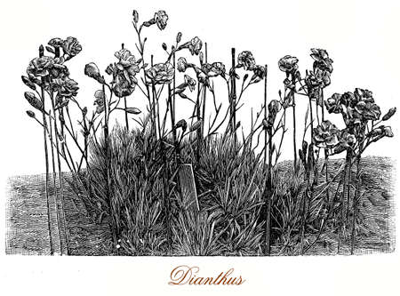 Vintage engraving of a bunch of dianthus flowering plant in the garden. The decorative frilled flowers are pale to dark pink
