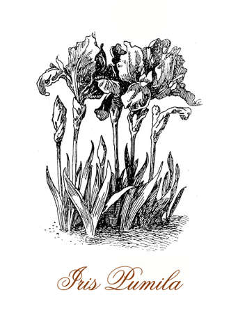pygmy: Vintage engraving of Iris pumila or pygmy iris, hybrid plant with single bloom on a short stem. The flowers present a wide variety of colors, violet the most common Stock Photo