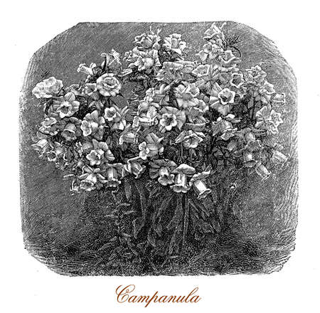 campanula: Vintage engraving of a bunch of campanula or bellflower plants in the garden, very decorative for the bell-shaped flowers, usually blue or purple