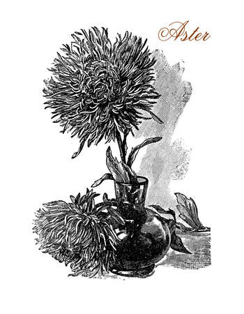 Vintage engraving of beautiful aster flowers in vase.