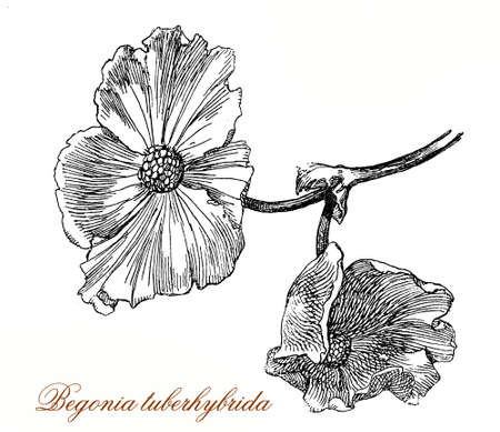 Vintage engraving of begonia × tuberhybrida, ornamental variety named also tuberosa with spectacular flowers