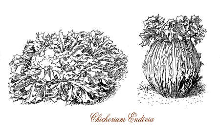 19th century engraving of Cichorium endivia, plant widely cultivated for the bitter vegetables leaves, known as endive and escarole Stock Photo