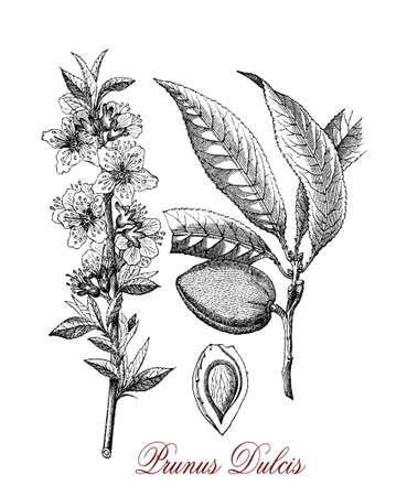 Vintage engraving of almond, tree growing in Mediterranean climates, the beautiful flowers are white to pale pink with five petals and appear in early spring.Almond  is also the name of the edible and widely cultivated seed. Stock Photo