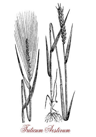 spelt: Vintage engraving of common wheat, cereal grain cultivated worldwide as food ingredient dried,crushed or ground with high protein content. The seeds inside the spikelets remain attached to the ear during harvest.