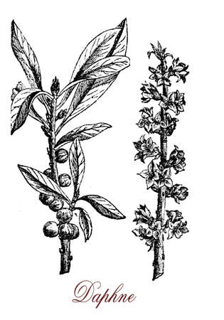 dafne: Vintage engraving of Daphne, ornamental shrub cultivated in garden with scented flowers and poisonous berries.