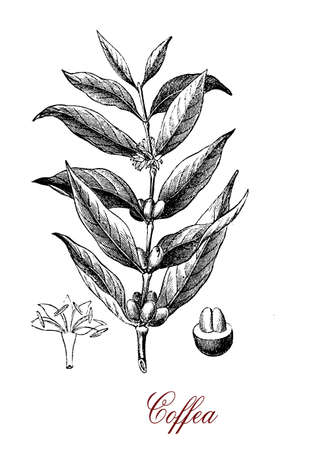 morphology: Vintage engraving of Coffea (coffee plant)  botanical morphology:  leaves, flowers and berries containing 2 coffee beans each.