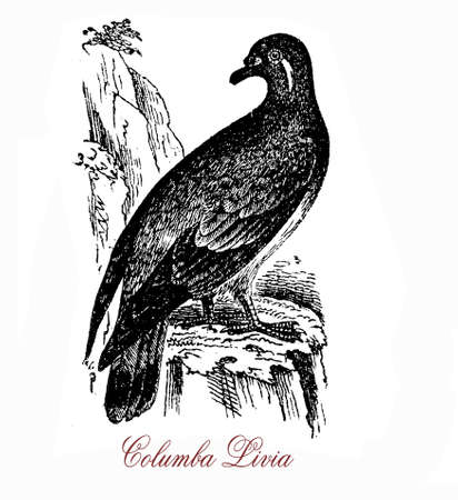 become: Vintage engraving of Rock dove or rock pigeon are pale grey with two black bars on each wing, its habitat is on rocks and cliffs but has become established in cities around the world