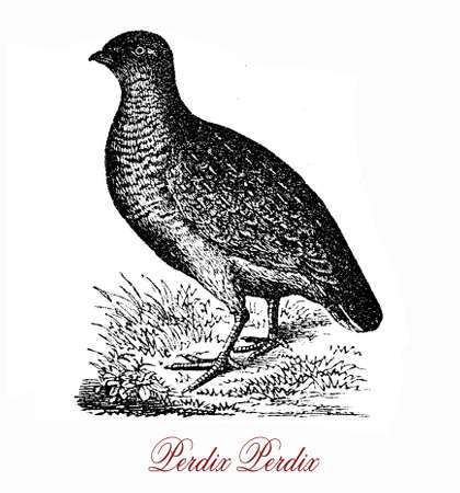 threatened: Vintage engraving  of grey partridge,grey and brown gamebird listed in threatened species, it is a seed-eating bird, but the young takes insects  as protein supply.