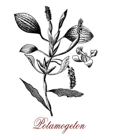 Vintage engraving of Potamogeton or pondweed aquatic plant in standing or running water