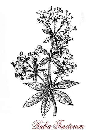 morphology: Vintage engraving ofRubia tinctorum or common madder used since ancient times as a vegetable red dye for leather, wool, cotton and silk