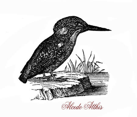 Wildlife vintage engraving of Common kingfisher, small fish-eating bird of vivid blue and orange colors and long bill, it migrates from areas where rivers freeze in winter. Stock Photo