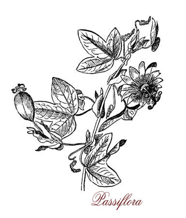 Vintage engraving of passiflora or passion flowers cultivated as crop for the passionfruits and for the beautiful flowers