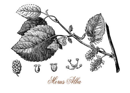 Vintage engraving of white mulberry, tree with  and sweet white fruits cultivated to feed the silkworms for commercial production of silk. Used in traditional medicine and as ornamental tree in landscaping.