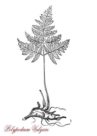 Vintage engraving of polypodium vulgare or common polypody, fern growing in shaded locations, used in traditional cooking for its sweet taste and in traditional herbal medicine