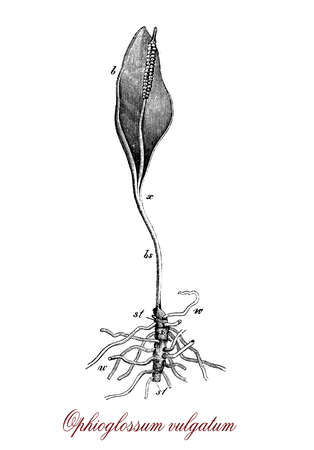 spore: Vintage engraving of ophioglossum vulgatum or adders-tongue fern, fern with a snake-tongue shape and fleshy roots very adaptable to different soils