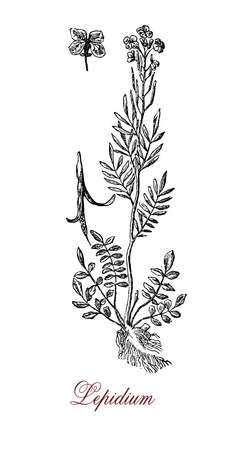 weeds: XIX century engraving of  lepidium or peppercress, plant of the mustardcabbage family with small leaves and small yellow flowers. All part of the plant are edible.