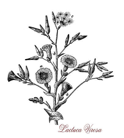 lactuca: Botanical XIX century engraving of Lactuca virosa or wild lettuce, plant of the lactuca genus used in the 19th century by physicians for its hypnotic and sedative effects when opium could not be obtained Stock Photo