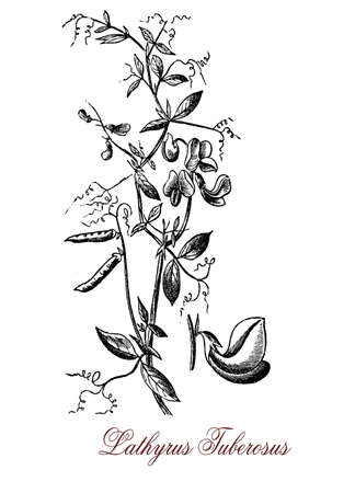 botanical vintage engraving of tuberous pea, perennial plant with edible roots, the inflorescence has from 2 to 7 pink-red flowers